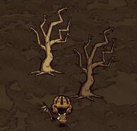 Два шипастый дерева