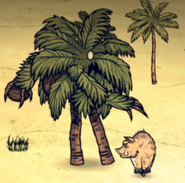 Sanglier vs palmier gardien