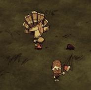 Gobbler jedzący czerwony grzyb