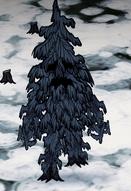 Guzowaty drzewiec zimą