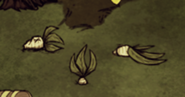 Mandragora martwa, zasadzona i uśmiercona