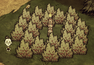 Swinska pochodnia