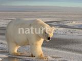 The Great Polar Bear Rescue