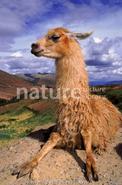 Llama (1)