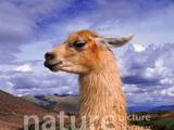 Linda the Llama Saves Carnival