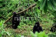 Two mountain gorilla babies