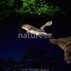 Gliding squirrel