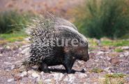 Spiky porcupine