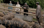 Pigs-on-downton1