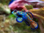Leierfisch