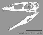 Brevibrachius skull by hyrotrioskjan