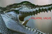 Krokodil Rachen
