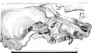 Cranium Draconis carpathici