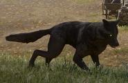 Schwarzer Wolf 05