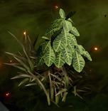 Lotus und Wurzel
