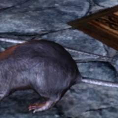 ... Wielkie szczury!