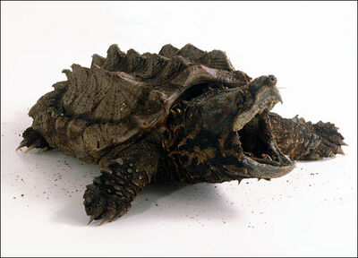 Cheats-alligator-snapping-turtle