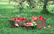 Fruit-apples-apple-tree-wallpapers-1440x900