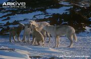 Arctic-wolf-pups-begging-for-food-from-adults