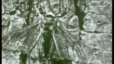 Evolution of the Peppered Moth
