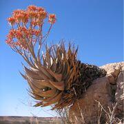 Aloe hereroensis Auob C15