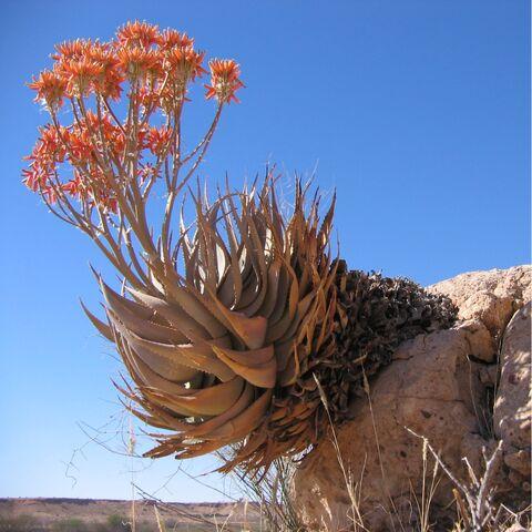 File:Aloe hereroensis Auob C15.jpg