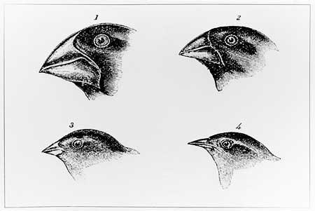 Darwinsfinches