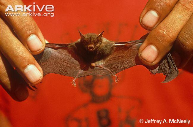 Kittis-hog-nosed-bat