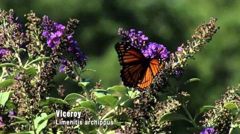Butterflies Camouflage and Mimicry (10 27 12)
