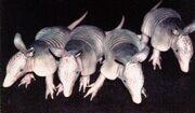 9-banded armadillo quadruplets