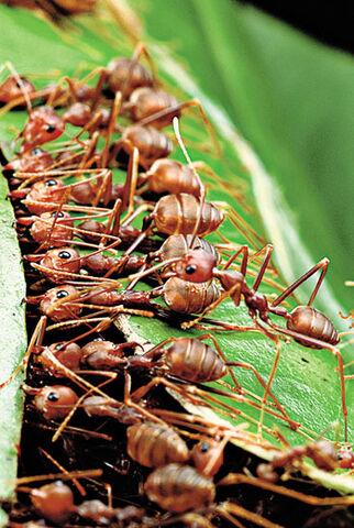 File:Smithsonian weaver-ants-2.jpg