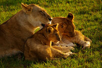 Maasai-mara-kenya-mama-lion-licking-cub-big