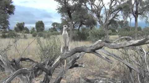 Research suggests meerkat predator-scanning behaviour is altruistic