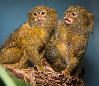 Pygmy-Marmosets-Per-and-Oko