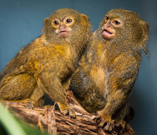 File:Pygmy-Marmosets-Per-and-Oko.png