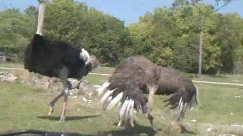 Successful Ostrich Mating Dance Followed by Mating w Female