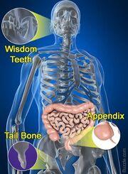 Human-body-mysteries-vestigial-organs