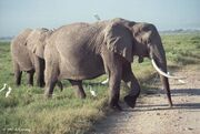 Elephants-birds.6-19.750px