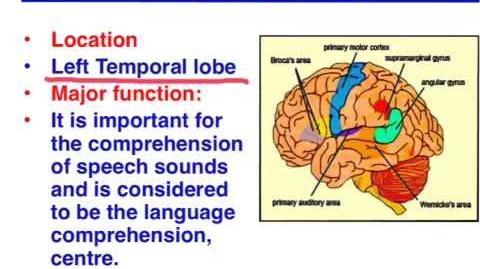 Broca's area vs. Wernicke's area - VCE Psychology