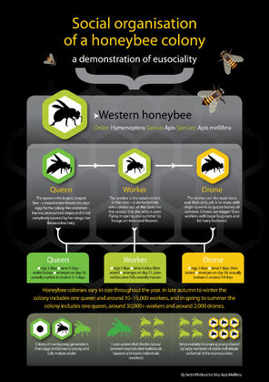 Mod-6-5-infographic-eusociality1