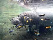 Hippopotamus San Antonio Zoo Photo Credit Zack Neher 2