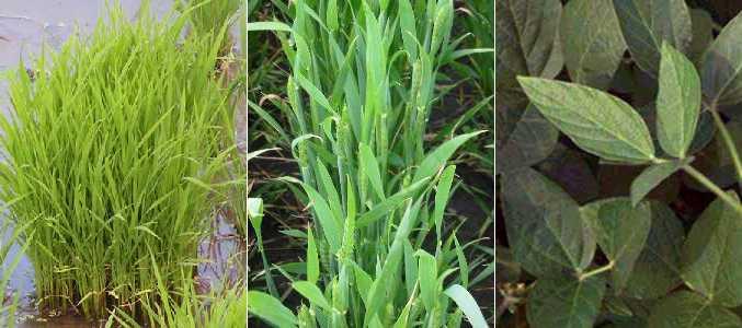 C3 And C4 Plants Dragonflyissuesinevolution13 Wiki Fandom