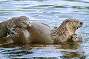 NA River Otter with Pups