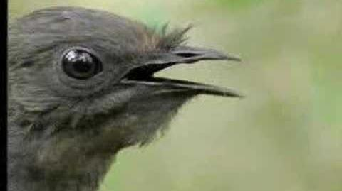 Amazing! Bird sounds from the lyre bird - David Attenborough - BBC wildlife-1386089357