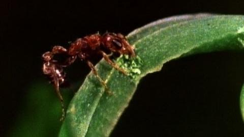 Amazing Symbiosis Ant Army Defends Tree-0