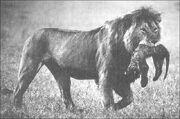 Lion.male.infanticide.alc-22