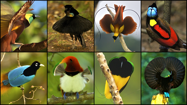 Intrasexual selection birds