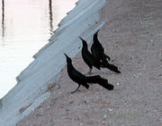 Grackles lekking