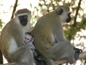File:Photo1 Albums Album1 Large PC074783 Vervet monkey with baby11-300x225.jpg