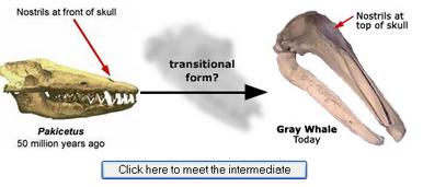 Intermediate Gray Whale Species
